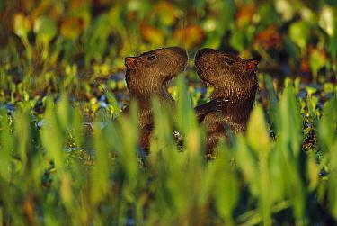 Capybara (Hydrochoerus hydrochaeris) young playing, Pantanal, Brazil  -  Theo Allofs