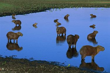 Capybara (Hydrochoerus hydrochaeris) group in lagoon, Pantanal, Brazil  -  Theo Allofs
