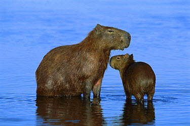 Capybara (Hydrochoerus hydrochaeris) mother and young, Pantanal, Brazil  -  Theo Allofs