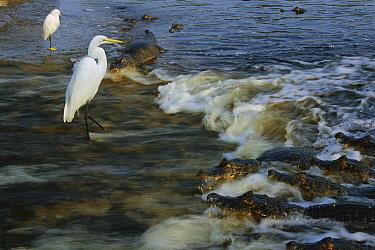 Jacare Caiman (Caiman yacare) group, Great Egret (Ardea alba) and Snowy Egret (Egretta thula) waiting for prey, Pantanal, Brazil  -  Theo Allofs