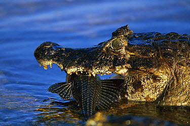 Jacare Caiman (Caiman yacare) with fresh caught fish in mouth, Mato Grosso, Pantanal, Brazil  -  Theo Allofs
