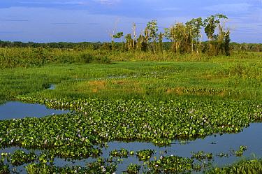 Water Hyacinth (Eichhornia sp) in swamp during dry season, northern Pantanal, Brazil  -  Theo Allofs