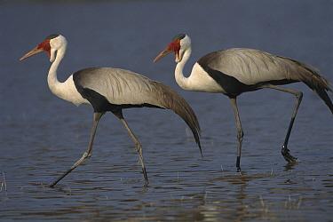 Wattled Crane (Bugeranus carunculatus) pair walking, Okavango Delta, Botswana  -  Theo Allofs