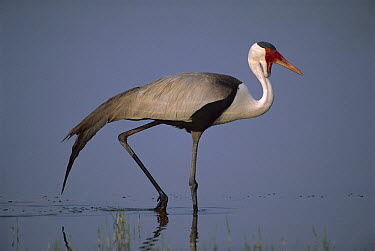 Wattled Crane (Bugeranus carunculatus) walking, Okavango Delta, Botswana  -  Theo Allofs