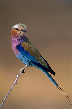 Lilac-breasted Roller (Coracias caudata) perching on branch, Okavango Delta, Botswana  -  Theo Allofs