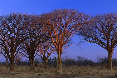 Mongongo (Schinziophyton rautanenii) trees at sunset, Moremi Game Reserve, Okavango Delta, Botswana  -  Theo Allofs