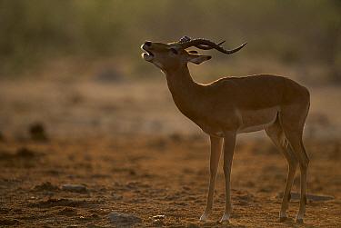 Impala (Aepyceros melampus) male snorting, Savute, Chobe National Park, Botswana  -  Theo Allofs