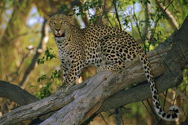 Leopard (Panthera pardus) looking for prey, Moremi Game Reserve, Okavango Delta, Botswana  -  Theo Allofs