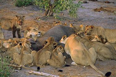 African Lion (Panthera leo) pride feeding on African Elephant (Loxodonta africana) young, Savute, Chobe National Park, Botswana  -  Theo Allofs