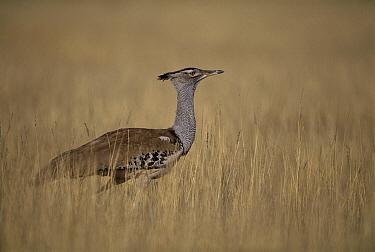 Kori Bustard (Ardeotis kori) in grassland, Kalahari Gemsbok National Park, South Africa  -  Theo Allofs
