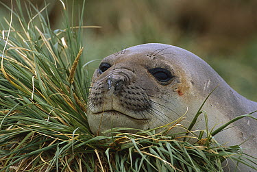 Southern Elephant Seal (Mirounga leonina) resting head on tussock grass, South Georgia Island  -  Theo Allofs