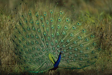 Indian Peafowl (Pavo cristatus) male displaying, Ranthambore National Park, India  -  Theo Allofs