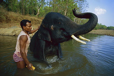Asian Elephant (Elephas maximus) being washed by mahout, domestic animal, Kanha National Park, India  -  Theo Allofs