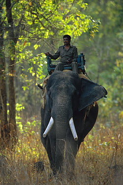 Asian Elephant (Elephas maximus) ridden by mahout who is tracking tigers, domestic animal, Kanha National Park, India  -  Theo Allofs