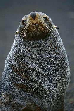 Antarctic Fur Seal (Arctocephalus gazella) male, South Shetland Islands  -  Theo Allofs
