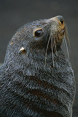 Antarctic Fur Seal (Arctocephalus gazella) male, South Georgia Island  -  Theo Allofs