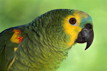 Blue-fronted Parrot (Amazona aestiva) portrait, southern Pantanal, Brazil  -  Theo Allofs
