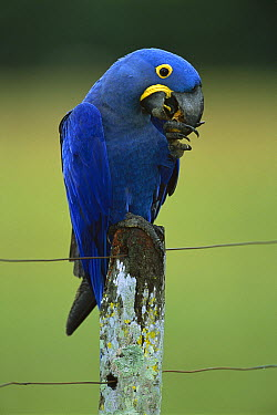 Hyacinth Macaw (Anodorhynchus hyacinthinus) eating plam fruit on fence post, southern Pantanal, Brazil  -  Theo Allofs