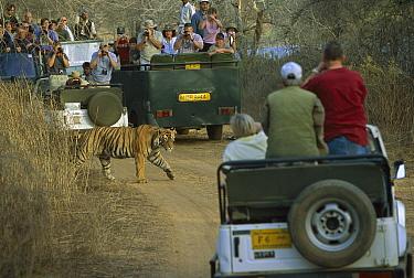 Bengal Tiger (Panthera tigris tigris) juvenile male, crossing road between tourist vehicles, Ranthambore National Park, India  -  Theo Allofs