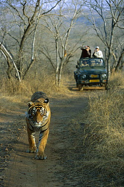 Bengal Tiger (Panthera tigris tigris) juvenile male, walking on road in front of tourist vehicle, Ranthambore National Park, India  -  Theo Allofs