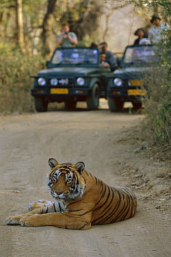 Bengal Tiger (Panthera tigris tigris) juvenile male, resting on road in front of tourist vehicles, Ranthambore National Park, India  -  Theo Allofs