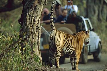 Bengal Tiger (Panthera tigris tigris) juvenile male, marking territory in front of tourist vehicle, Ranthambore National Park, India  -  Theo Allofs