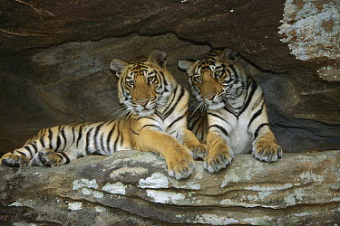 Bengal Tiger (Panthera tigris tigris) juveniles lying in cave, Bandhavgarh National Park, India  -  Theo Allofs