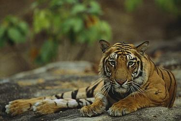 Bengal Tiger (Panthera tigris tigris) juvenile lying on rock, Bandhavgarh National Park, India  -  Theo Allofs