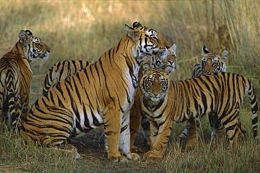 Bengal Tiger (Panthera tigris tigris) mother reuniting with her four cubs, Bandhavgarh National Park, India  -  Theo Allofs