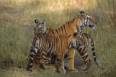 Bengal Tiger (Panthera tigris tigris) mother reuniting with two of her cubs, Bandhavgarh National Park, India  -  Theo Allofs