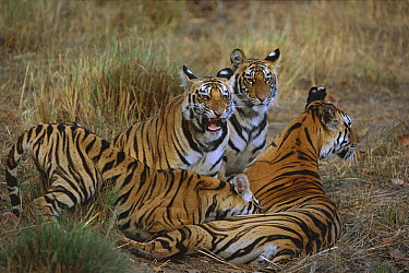 Bengal Tiger (Panthera tigris tigris) mother reuniting with three of her cubs, one of which is suckling, Bandhavgarh National Park, India  -  Theo Allofs