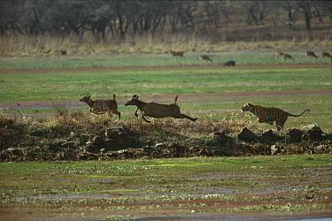 Bengal Tiger (Panthera tigris tigris) male chasing Sambar (Cervus unicolor) deer mother and young, Ranthambore National Park, India  -  Theo Allofs