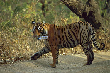 Bengal Tiger (Panthera tigris tigris) male carrying plastic water bottle in mouth, Ranthambore National Park, India  -  Theo Allofs