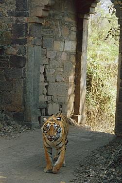 Bengal Tiger (Panthera tigris tigris) male walking through old gate, Ranthambore National Park, India  -  Theo Allofs