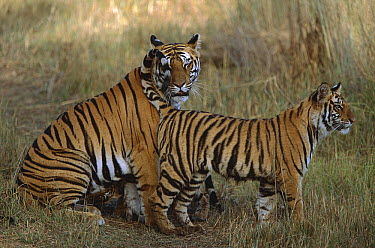 Bengal Tiger (Panthera tigris tigris) mother reuniting with two of her cubs, one of which is suckling, Bandhavgarh National Park, India  -  Theo Allofs