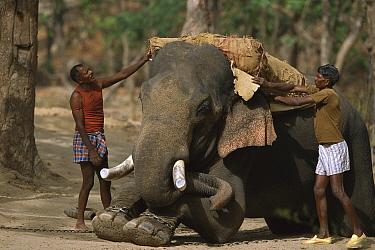 Asian Elephant (Elephas maximus) having saddle put on by mahouts, domestic animal, Bandhavgarh National Park, India  -  Theo Allofs
