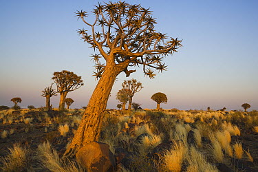 Quiver Tree (Aloe dichotoma) at dawn, Namib Desert, Namibia  -  Theo Allofs