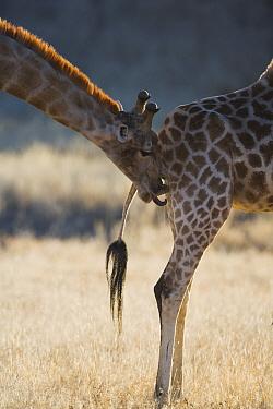 Giraffe (Giraffa sp) male licking female's urine to determine if she's in estrus, called the flehmen response, Africa  -  Theo Allofs