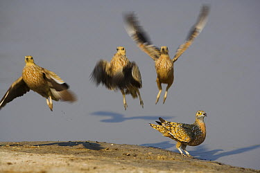 Spotted Sandgrouse (Pterocles ) taking off after having soaked up water in feathers, Africa  -  Theo Allofs