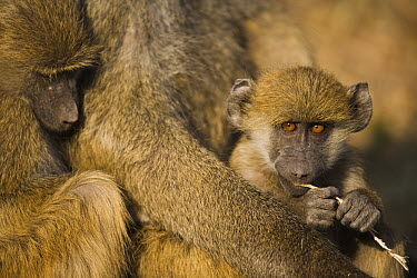 Chacma Baboon (Papio ursinus) babies in mother's arms, Africa  -  Theo Allofs