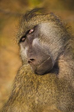 Chacma Baboon (Papio ursinus) male sleeping, Africa  -  Theo Allofs