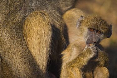 Chacma Baboon (Papio ursinus) baby near mother, Africa  -  Theo Allofs