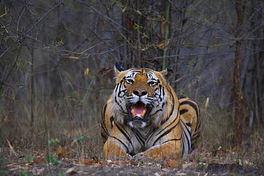 Bengal Tiger (Panthera tigris tigris) dominant male, resting on dry leaves in bamboo forest, April, dry season, Bandhavgarh National Park, India  -  Theo Allofs