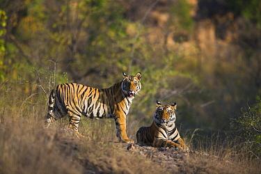 Bengal Tiger (Panthera tigris tigris) 17 month old juveniles, dry season, April, Bandhavgarh National Park, India  -  Theo Allofs