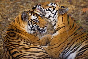 Bengal Tiger (Panthera tigris tigris) tigress licking 17 month old juvenile, dry season, Bandhavgarh National Park, India  -  Theo Allofs