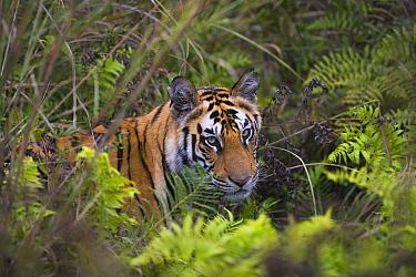 Bengal Tiger (Panthera tigris tigris) 17 month old juvenile in wet green meadow with ferns, dry season, Bandhavgarh National Park, India  -  Theo Allofs