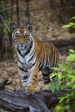 Bengal Tiger (Panthera tigris tigris) 17 month old juvenile standing on fallen tree, early morning, dry season, Bandhavgarh National Park, India  -  Theo Allofs