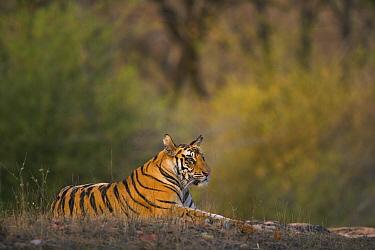 Bengal Tiger (Panthera tigris tigris) 17 month old juvenile male resting in open area early morning, dry season, Bandhavgarh National Park, India  -  Theo Allofs