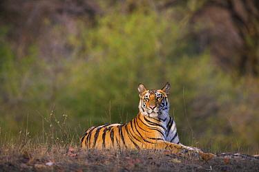 Bengal Tiger (Panthera tigris tigris) 17 month old juvenile male resting in open area, early morning, dry season, Bandhavgarh National Park, India  -  Theo Allofs