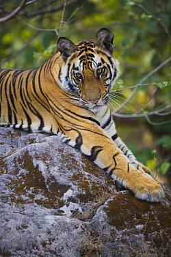 Bengal Tiger (Panthera tigris tigris) 17 month juvenile lying on rock, early morning, dry season, Bandhavgarh National Park, India  -  Theo Allofs